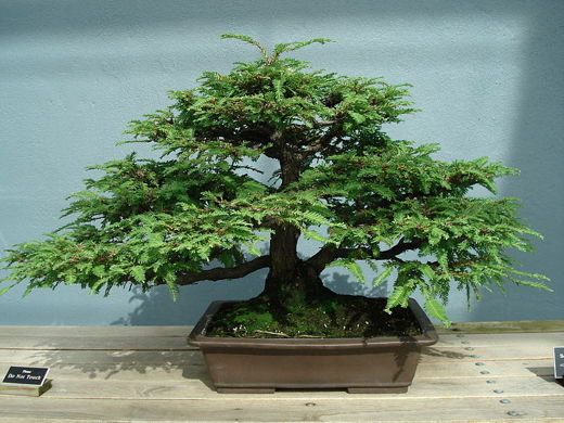 bonsai_Sequoia