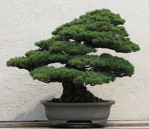 bonsai_pin_japonez