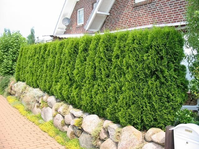 gard_viu_thuja_occidentalis2
